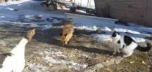 Tilki, kaz ve kedilerin ekmek kapma mücadelesi!