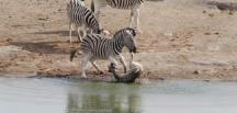 Yavru zebrayı öldürmeye çalışan sürü lideri!